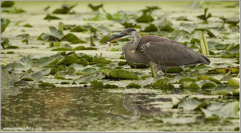 Great Blue Heron 82