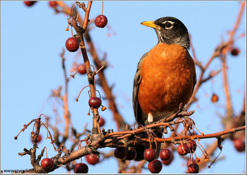 American Robin 14
