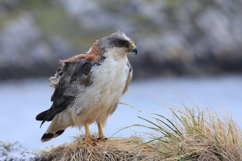 Red-backed Hawk, female