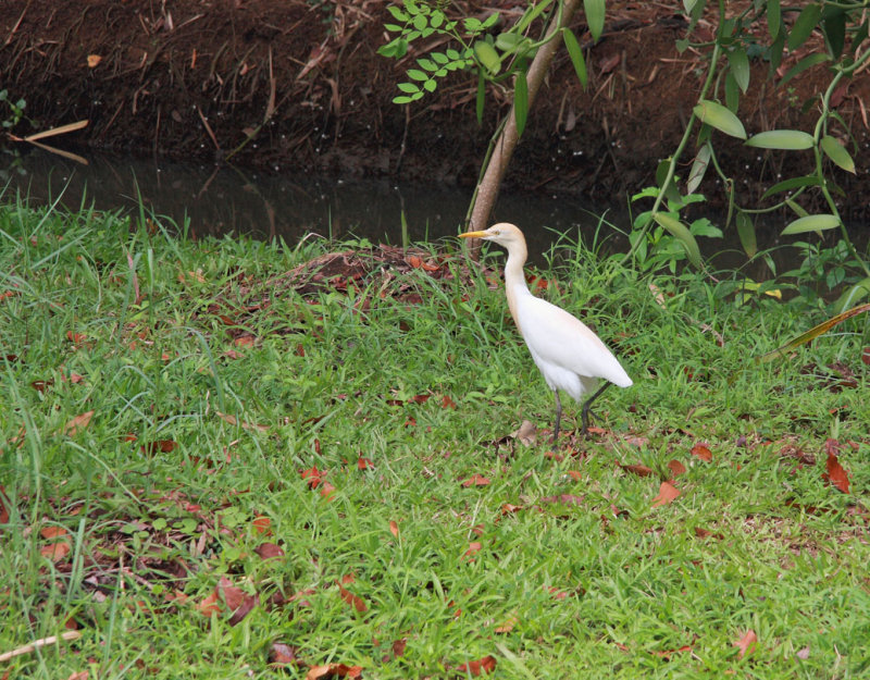 Cattle Egret at Coconut Lagoon