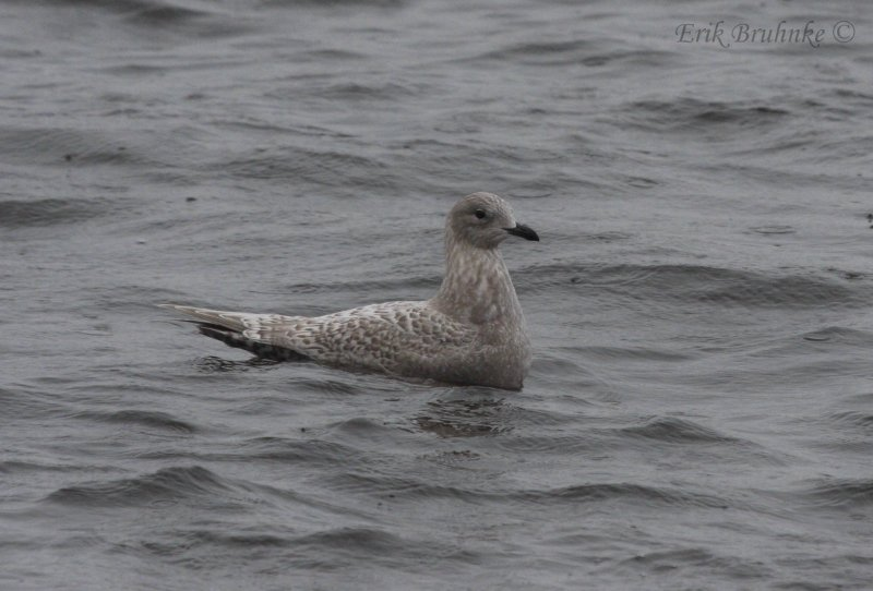 Likely Kumliens Gull (originally labeled as Thayers Gull)