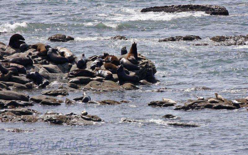 Steller Sea Lion and California Sea Lion