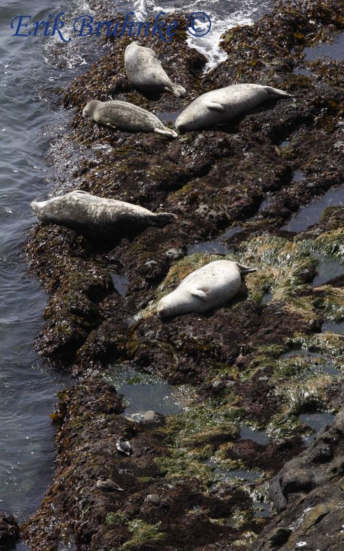 Harbor Seals with Harlequin Duck pair (bottom)