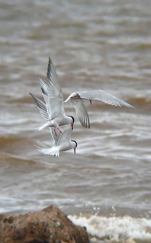 Fishing Common Terns