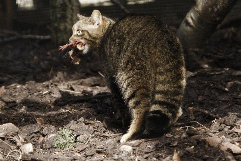 Tiger of the Highlands, The Scottish Wildcat (felis silvestris grampia)