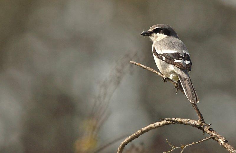 Southern Great Grey Shrike - Lanius excubitor meridionalis