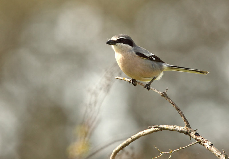 Southern Great Grey Shrike - Lanius excubitor meridionalis
