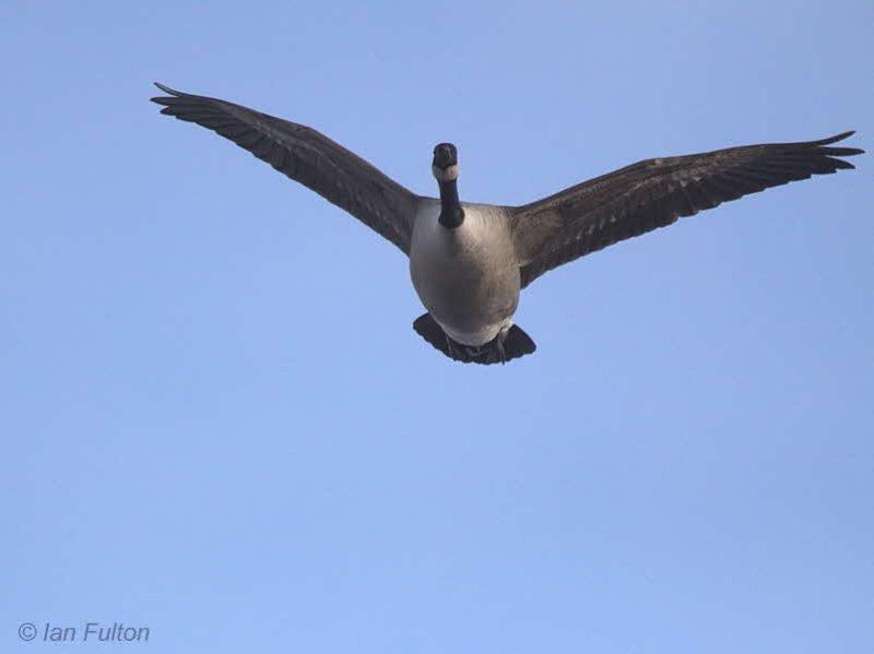 Canada Goose, Loch Lomond, Clyde