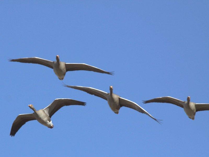 Greylag Goose, Loch Lomond NNR, Clyde
