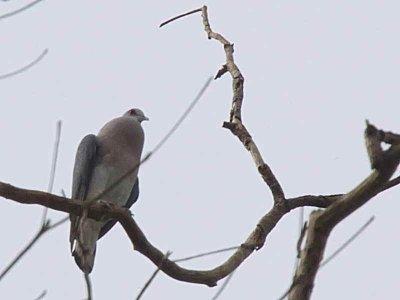 Afep Pigeon, Bobiri Butterfly Reserve, Ghana