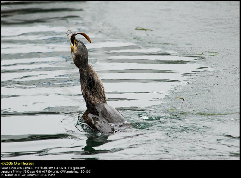 Cormorant (Skarv / Phalacrocorax carbo) #7