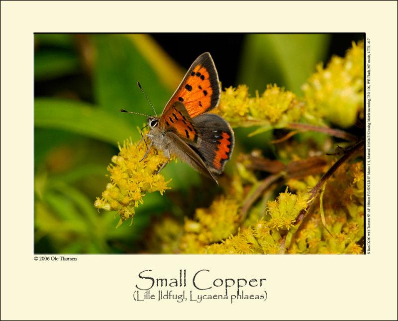 Small Copper butterfly (Lille Ildfugl / Lycaena phlaeas)
