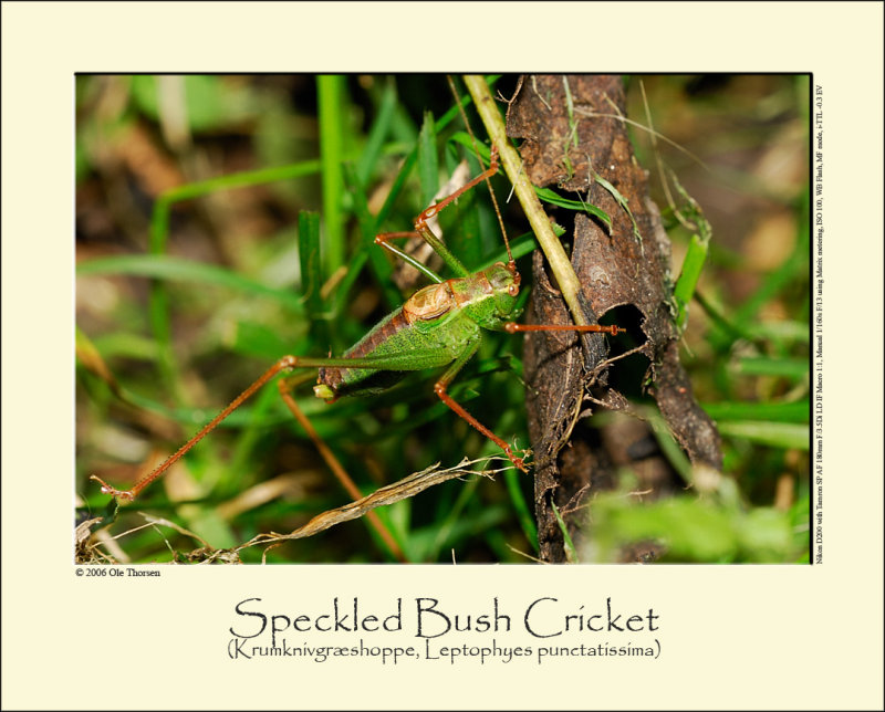 Speckled Bush Cricket (Krumknivgræshoppe / Leptophyes punctatissima)