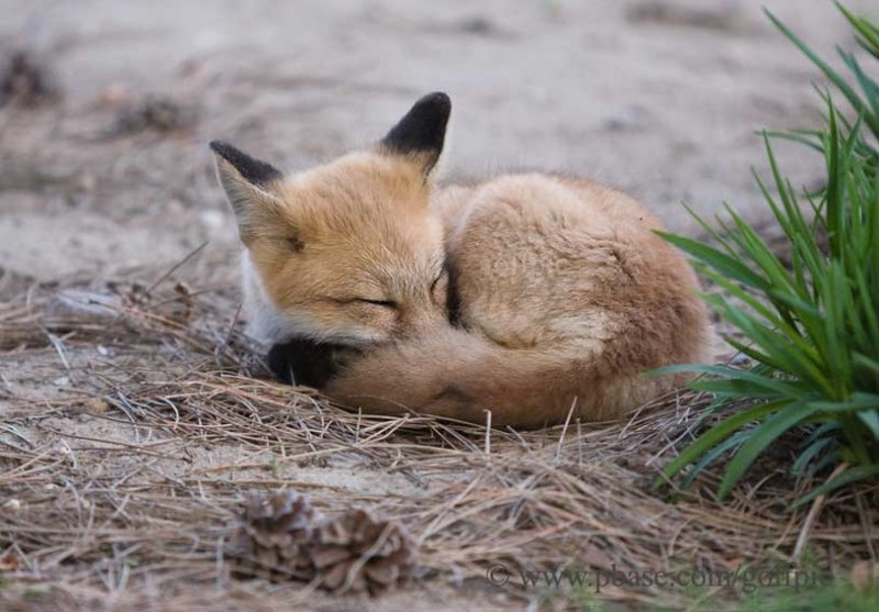 Young fox takes nap