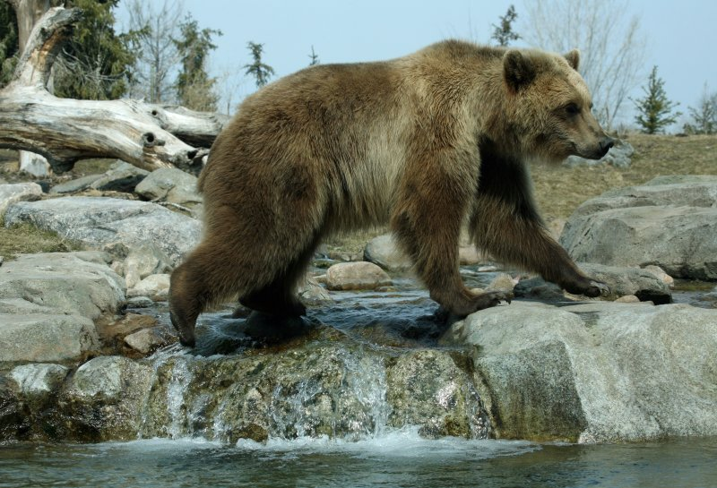 Brown Bear also known as grizzlies