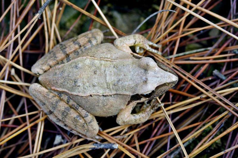 Frog top view. .jpg