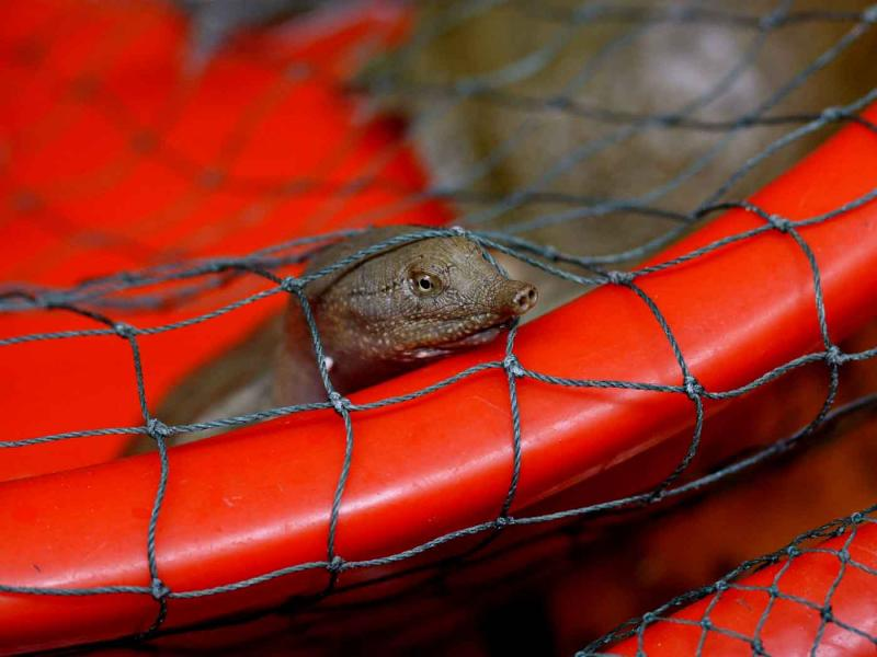 Softshell turtle waiting for the butchers knife. Jishou City China.