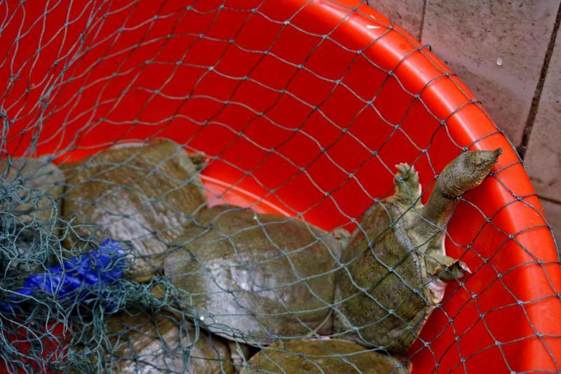 Softshell turtle in market place. Jishou City, China.