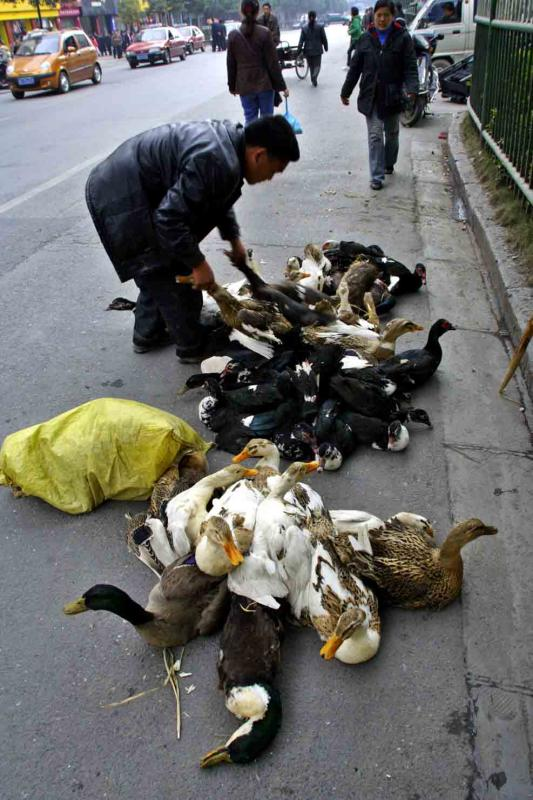 Moving ducks by their necks. Jishou City, China.