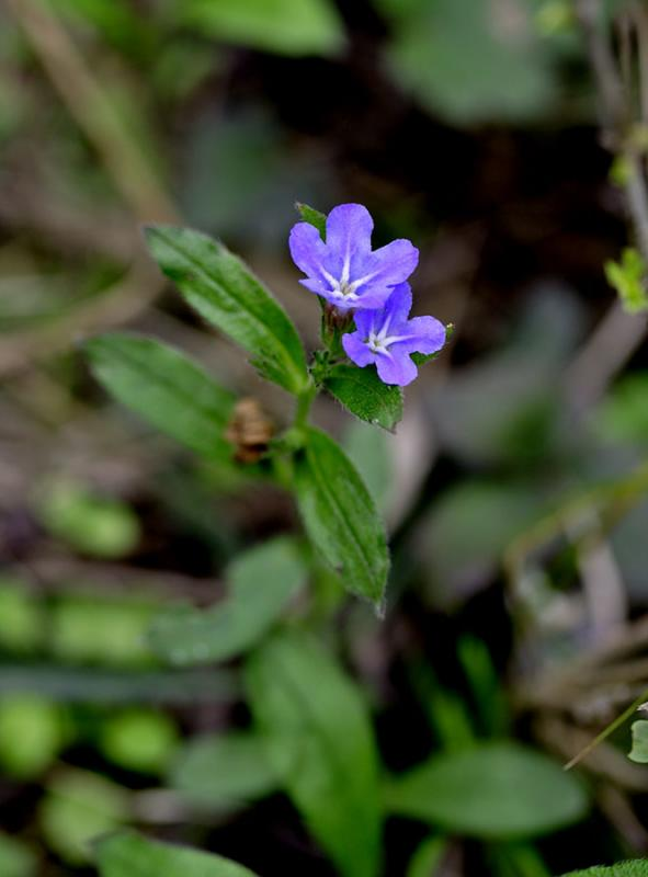 Blue flower, Wuling Mts, overlooking Ping Shan Po Village.