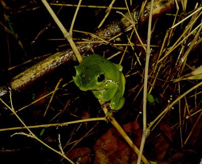 Perched treefrog, pond, Wuling Mts. China