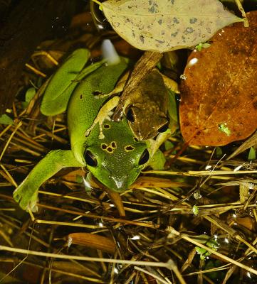 Pair of tree frogs in a pond. Jishou City area, Hunan Province, Wuling Mountains, China