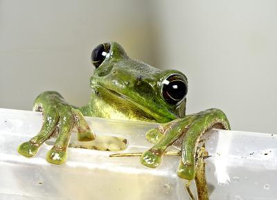 Tree frog. Jishou City area, Hunan Province, Wuling Mts. China