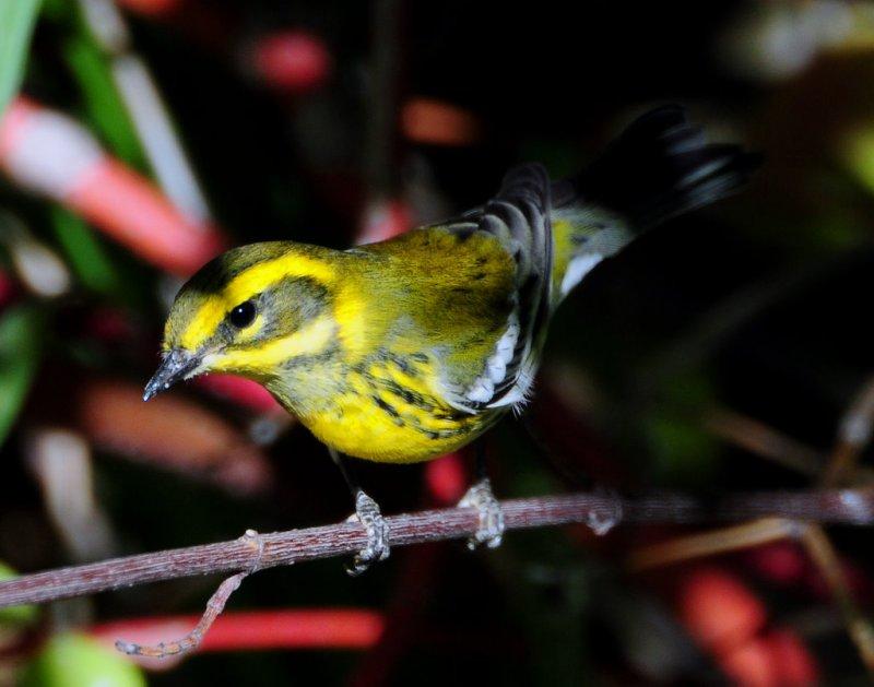 Warbler TownsendsD-006 Juvenile.jpg