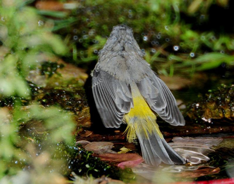 Warbler Virginias D-020.jpg