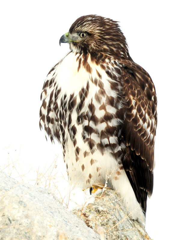 Hawk Red-tailed D-050.jpg