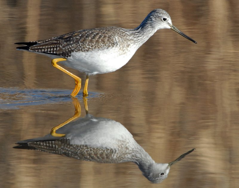 Yellowlegs Greater D-010.jpg