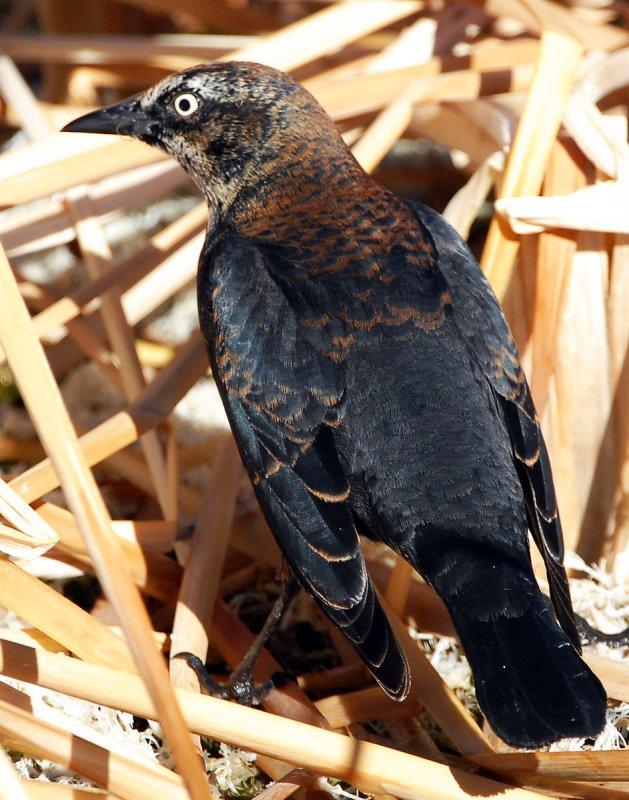 Blackbird Rusty D-006.jpg