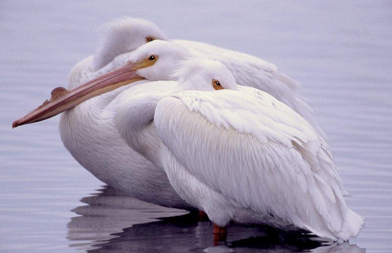 Pelican, American White  S-1146.jpg