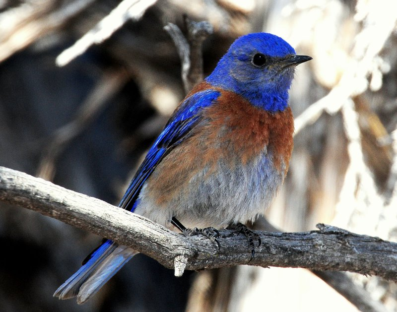 Bluebird  Western D-001.jpg