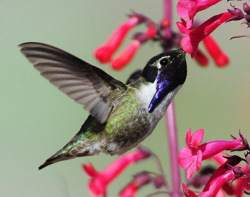 Hummingbird, Costas