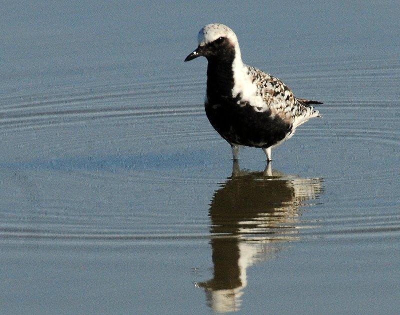 Plover, Black-bellied