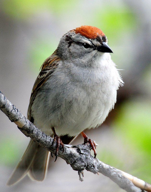 Sparrow, Chipping