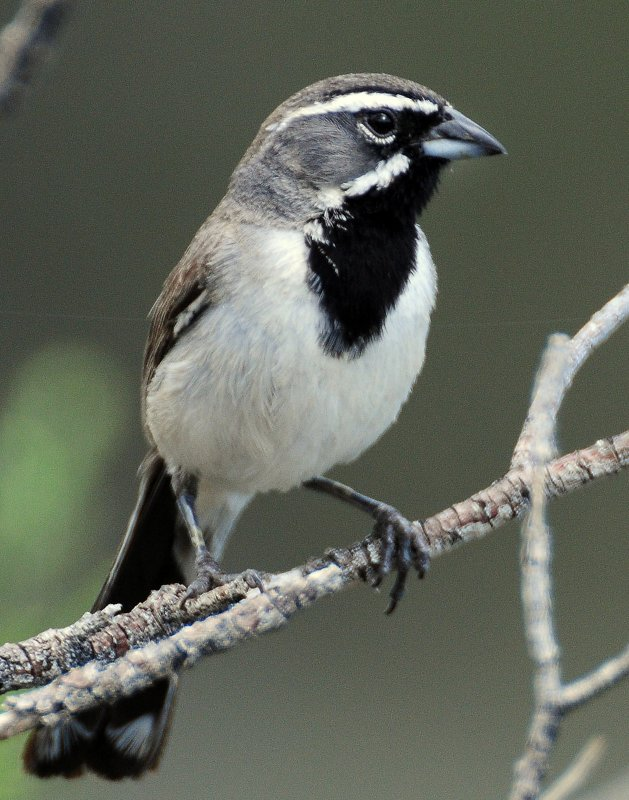 Sparrow, Black-throated