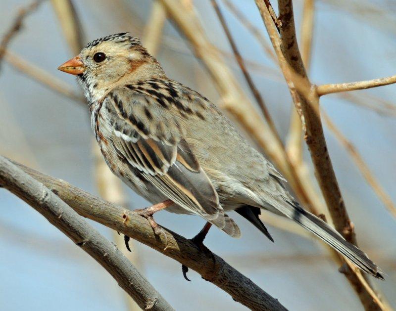 Sparrow, Harris