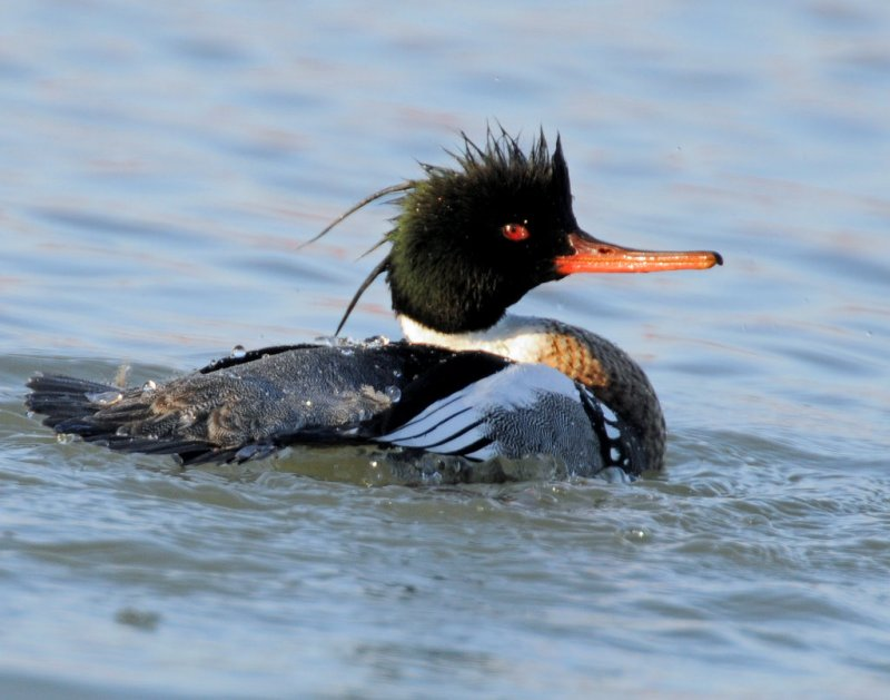 Merganser, Red-breasted