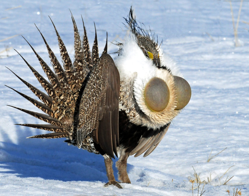 Grouse, Greater  Sage
