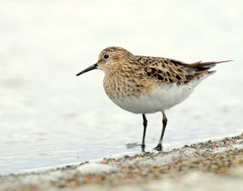 Sandpipers, Bairds