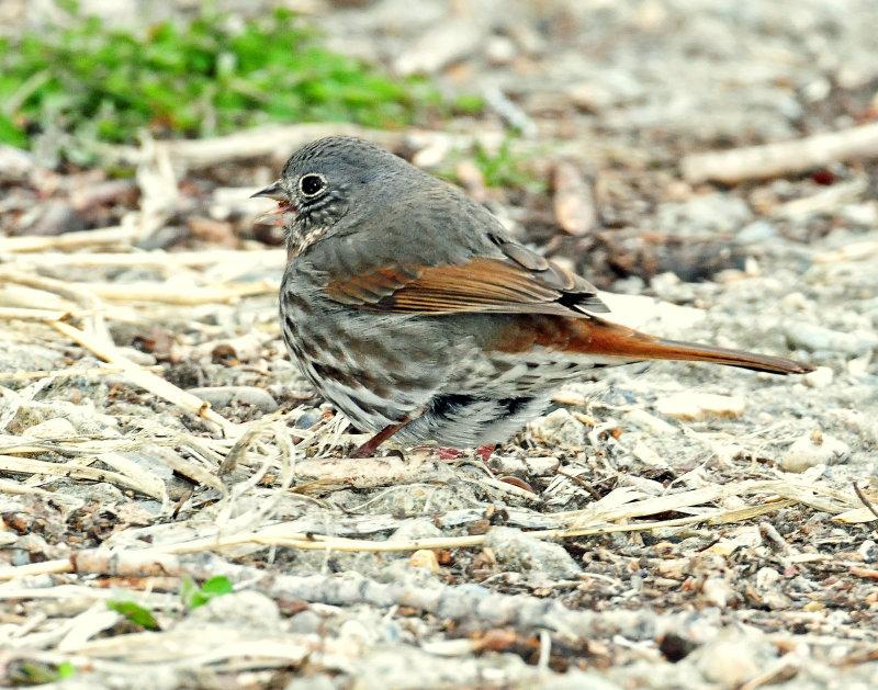 Sparrow, Fox