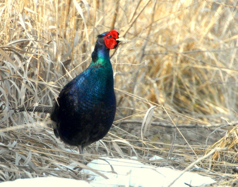 Pheasant, Green