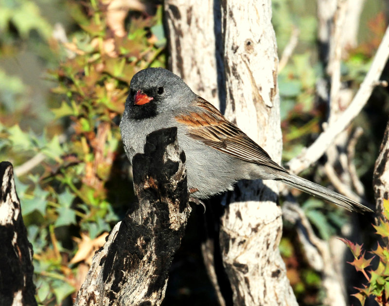 Sparrow,  Black-chinned