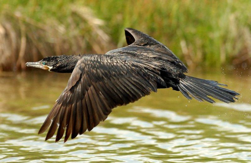Cormorant, Neotripic