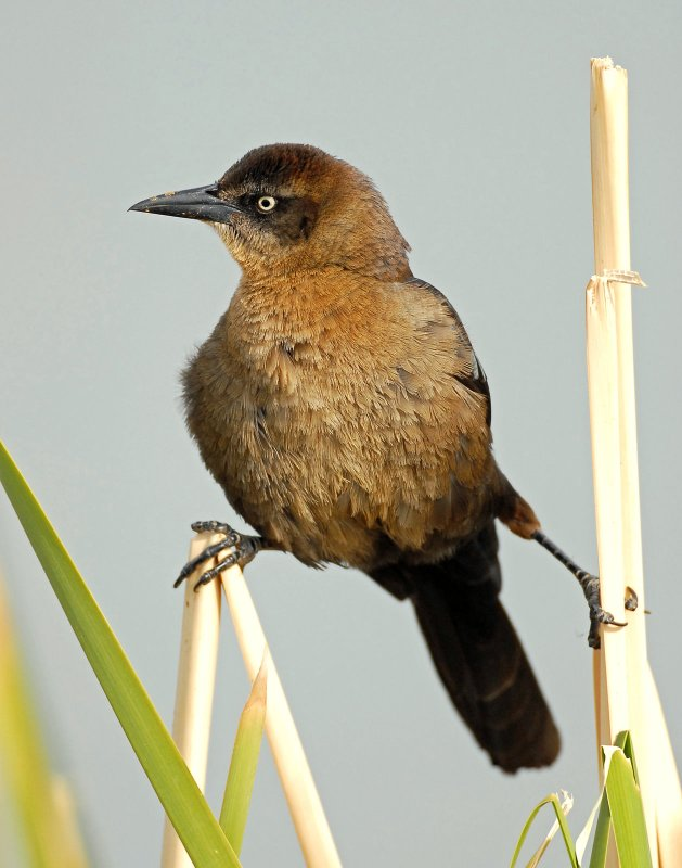 Grackle, Great-tailed (Female)