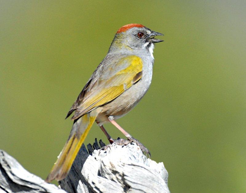 Towhee, Green-tailed