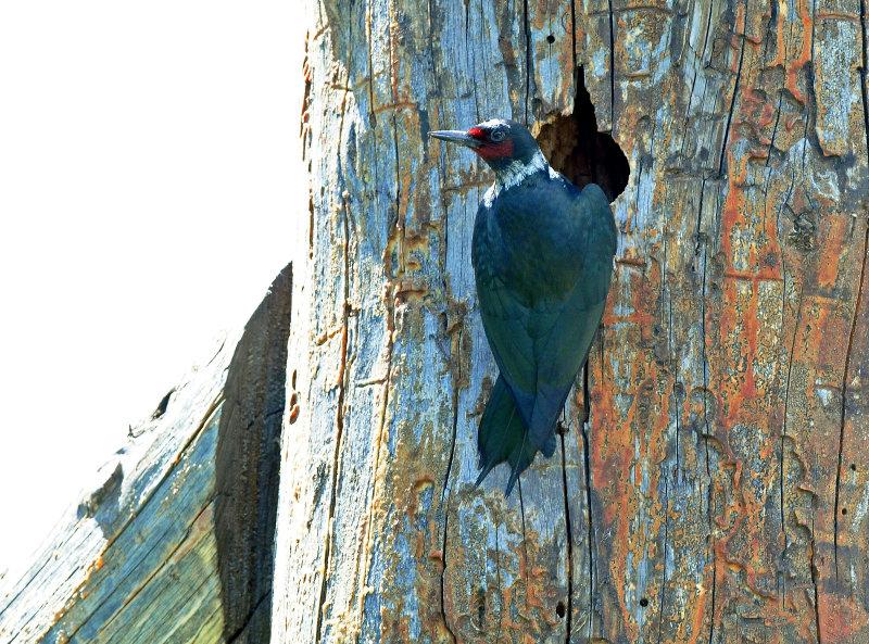 Woodpecker, Lewiss