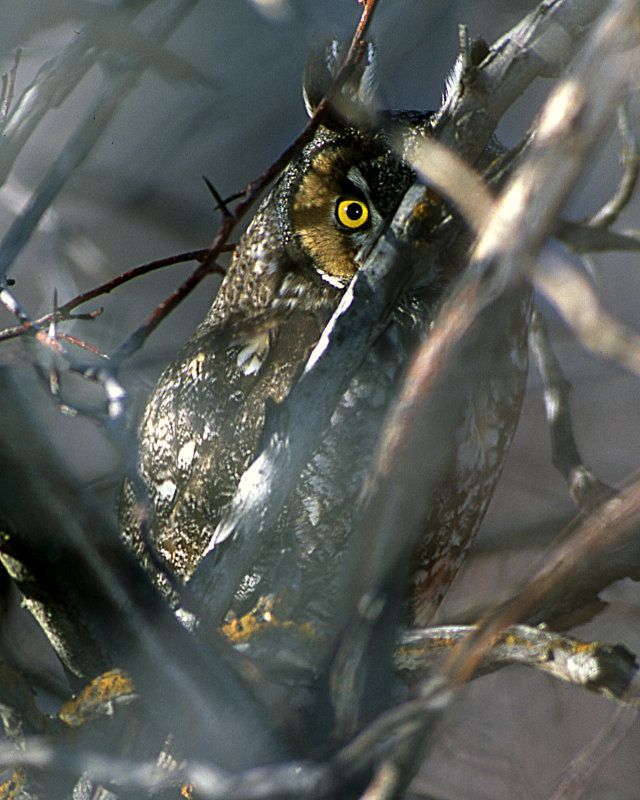 Owl Long Eared S-835.jpg